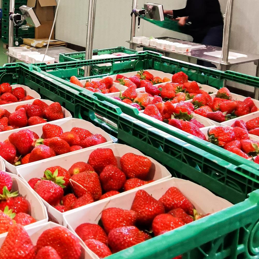Erdbeeren_Beerenland