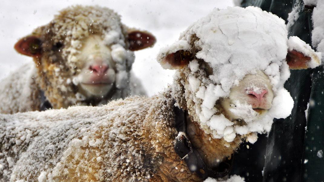 Schafe helfen mit ihrer Wolle Häuser ökologisch zu dämmen